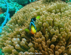 Clown fish in Nosy Be, Olympus TG-6, Isotta housing, Back... by Martin Genov