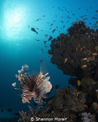 Lionfish on the house reef at Marsa Shagra. by Shannon Moran