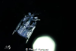 Floating in space  Mantis Shrimp Larvae stage  Bonfire ... by Magali Marquez