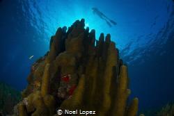 3 meter high pilar coral, Gardens of the queen, cuba, nik... by Noel Lopez