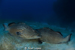 black groupers in a territorial fighting.nikon D800E, tok... by Noel Lopez