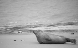 Seal relaxing by Pieter Firlefyn