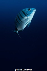 Soledad (loneliness). The zebra seabream was alone, looki... by Pablo Gutierrez