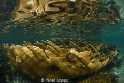 elkor coral,cuba , queen gardens, nikon 800E, tokina lens... by Noel Lopez