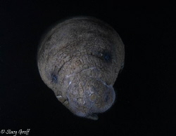 Manatee at dawn on a cold January morning in the Florida ... by Stacy Groff