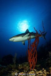 caribean reef shark, gardens of the queen,cuba by Noel Lopez