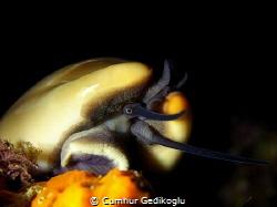Cypraea Luria lurida What a great looking by Cumhur Gedikoglu