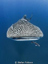 Touch the Sky Whale Shark - Rhincodon typus Sail Rock, ... by Stefan Follows