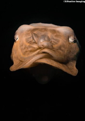 A little cuttlefish hovering in front of my lens. by Luca Keller