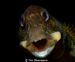 ''Shanny in the shallow'' in the estuary of the Eastern S... by Tim Steenssens