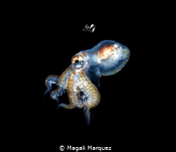 Octopus larva stage 