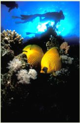 in the Red Sea a pair of butterfly fish shelter from the ... by Fiona Ayerst