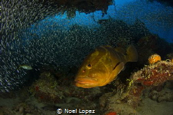 nassau grouper, and silverside fish in the back ground, c... by Noel Lopez