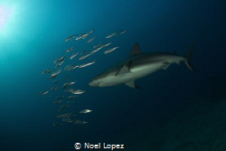 caribean reef shark chaising school of fish.canon 60D,TOK... by Noel Lopez