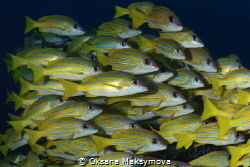School of Bluestripe Snapper (Lutjanus kasmira) by Oksana Maksymova