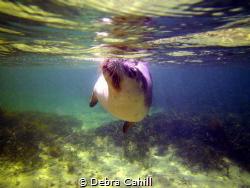 Swimming with sea loins Baird Bay South Australia by Debra Cahill