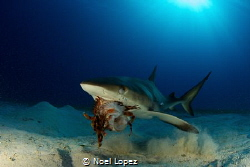 caribean reef shark eating a lion fish.canon 60D, tokina ... by Noel Lopez