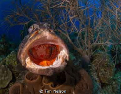 Found this grouper getting a cleaning off Little Cayman. ... by Tim Nelson
