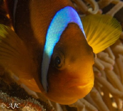 Red Sea Anemone Fish guarding its eggs.   Taken with G7... by Alexandra Caine