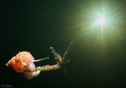 Snail in the pond of Ekeren/Belgium by Pieter Firlefyn