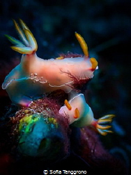 Mating Hypselodoris bullocki by Sofia Tenggrono