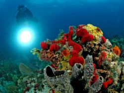 Reef scene with coral, diver, and slave strobe. D70, 10.5... by David Heidemann