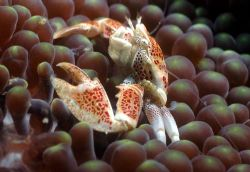This Porcelen Crab was shoot in Ambon bay.. by Iman Brotoseno