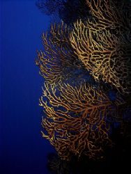 Deepwater Gorgonians on a wall dive in Cozumel. by Steven Anderson