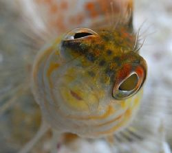 Head-on and up close view of a little Saddled Blenny. Nik... by Jim Chambers