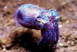 Bobtail Squid. by David Spiel