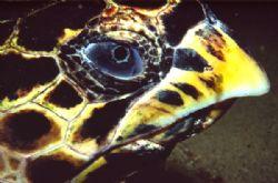 Hawksbill turtle at night. Taken with Nikonos V, Ikelite... by João Paulo Krajewski