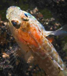 Some sort of goby.. - taken from a wreck located around t... by Malcolm Nimmo