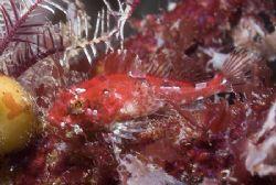 Tiny scorpion fish. Isle of Lewis. Scotland. D200,60mm. by Derek Haslam