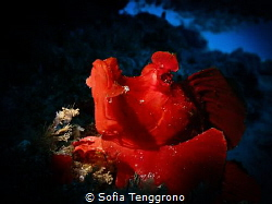 My Name Is Red (Rhinopias eschmeyeri) by Sofia Tenggrono
