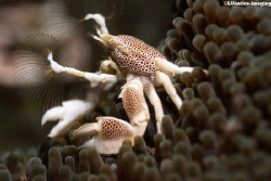 Anemone Crab (Neopetrolisthes maculatus) fishing for food. by Luca Keller