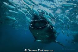 Whale shark by Oksana Maksymova