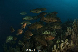 nassau grouper aggregation spawning, nikon D2X, tokina le... by Noel Lopez