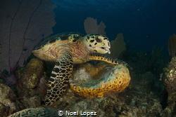 turtle feeding on sponge, nikon D800E, tokina lens 10-17m... by Noel Lopez