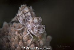 Humpback Soft Coral Shrimp (Hippolyte dossena) by Oksana Maksymova