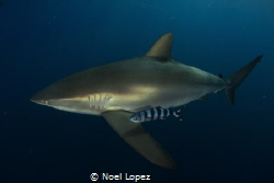 silky shark and pilot fish, canon 5D mark III, tokina len... by Noel Lopez