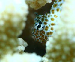 Gobie in Coral. Taken in Haleiwa, HI- natural light, abou... by Mathew Cook