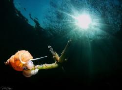 freshwater snail by Pieter Firlefyn