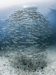 Will Wait Chevron Barracuda - Sphyraena qenie Sail Rock... by Stefan Follows