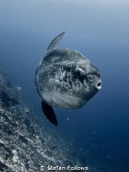 A certain blue enters your soul ...   Bump-Head Sunfish... by Stefan Follows