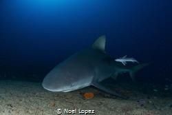 bull shark,nikon D800E, tokina lens 10-17mm, at 15mm, two... by Noel Lopez