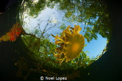 casiopea yelly fish,nikon D800E,tokina lens 10-17mm at 15... by Noel Lopez