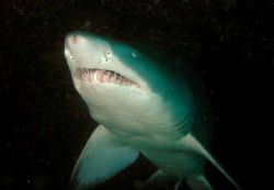 Grey Nurse Shark Taken at Magic Point Sydney by Peter Simpson