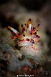 Nudibranch Shaggy Aegires (Aegires villosus) by Oksana Maksymova