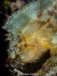 Poise  Leaf Scorpionfish - Taenianotus triacanthus  B... by Stefan Follows