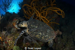 turtle feding on sponge,nikon D800E, tokina lens 10-17mm ... by Noel Lopez